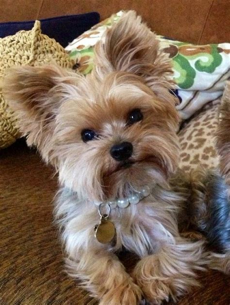 hair yorkie puppies best 25 yorkie hairstyles ideas on yorkie cuts yorkie cut and yorkie