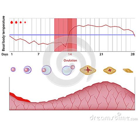 menstrual cycle after cesarean section first menstrual cycle after c section 28 images first