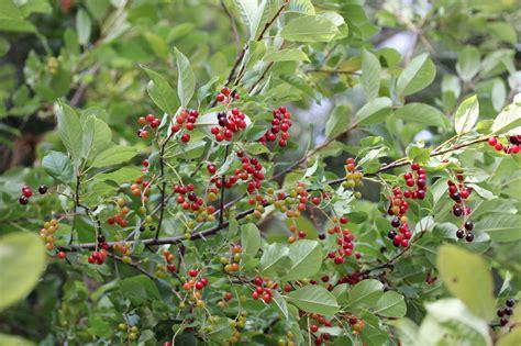 cherry tree maine chokecherry bush images