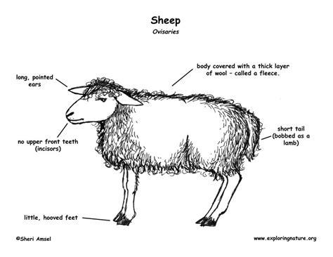 Sheep Organ Diagram