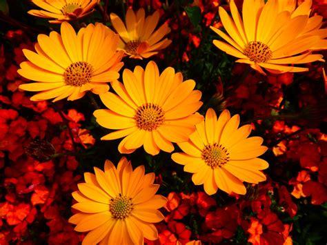 fiori in estate foto gratis fiori estate fiori fiore giallo immagine