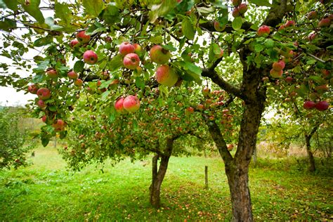 fruit trees new york a brief history on the woodsmall apple orchard