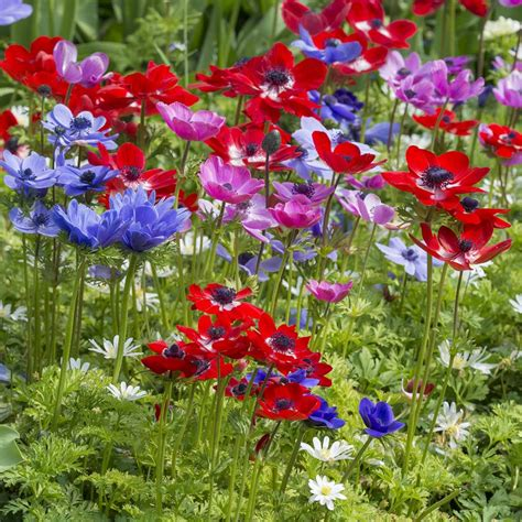 Blooming Flower anemone coronaria de caen special summerblooming bulbs