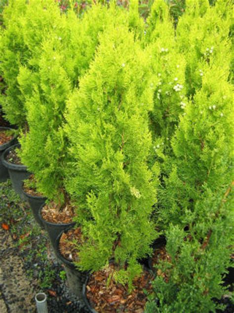 golden biota conifer   plants garden supplies