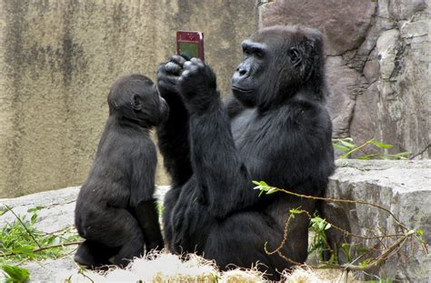 Gorilla | The Biggest Animals Kingdom
