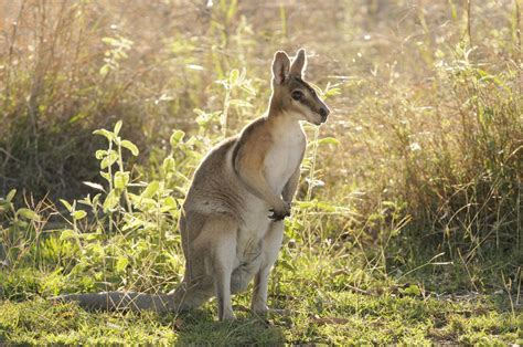 basic care for pet wallabies