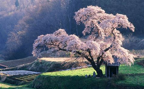 japanese blossom tree cherry blossom tree trees photo 19838737 fanpop