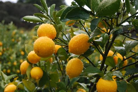 meyer lemon birch hill organics home