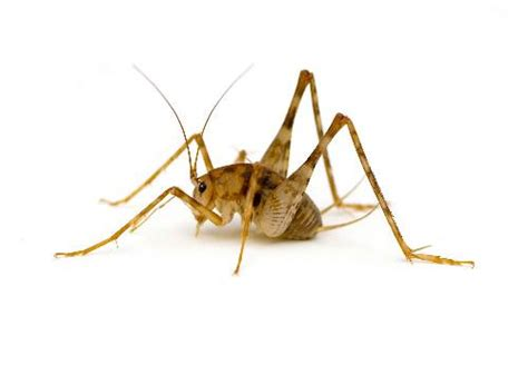 crickets in house meaning eastern pest control nj camel cricket control removal in new jersey