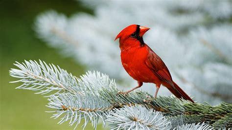 red bird sparrow hd wallpapers