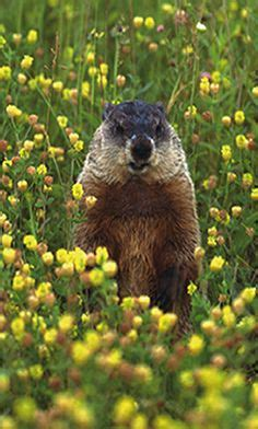 groundhog day japanese community post 10 cutest groundhog pictures