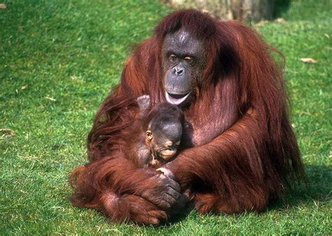 foto foto orang hutan terbaru kumpulan gambar foto binatang hewan flora fauna