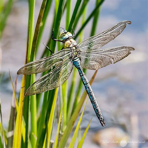 100rendezvous Herika Angie 1000 images about animals dragonflies on nature flies and emperor