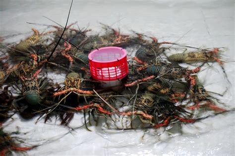 poto tato menteri susi penyelundupan lewat ntb didominasi benih lobster