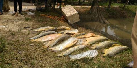 Bibit Ikan Arwana Di Pekanbaru ratusan ikan arwana mati diduga kena limbah proyek tol pekanbaru dumai merdeka