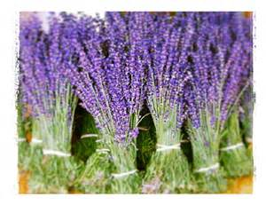 lavender in biblical times fireflies dance lavender