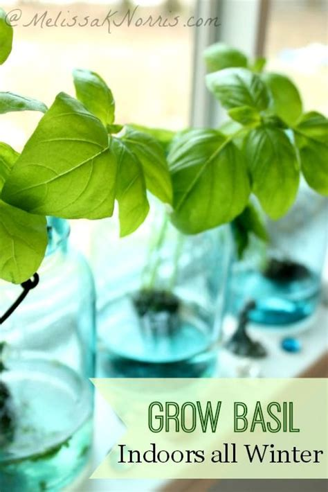 how to grow herbs grow basil indoors without dirt all winter fresh herbs