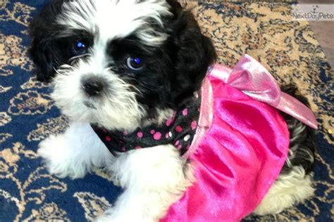 dogs and puppies for sale and adoption oodle marketplace shih poo black and white www imgkid the image kid has it