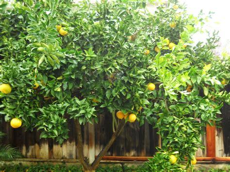 small orange tree fruit of the spirit susan irene fox