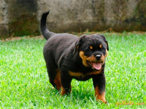 perros rottweiler cachorros fotos rottweiler cachorros wikipets