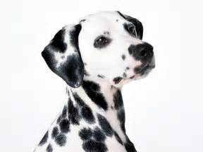 dalmatian dog portrait photo wallpaper beautiful dalmatian dog portrait pictures
