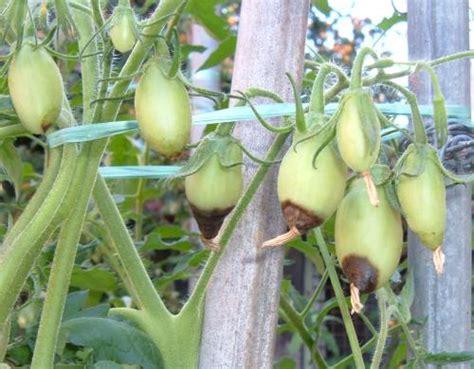 come potare i pomodori in vaso coltivare l orto coltivare i pomodori della variet 224 a