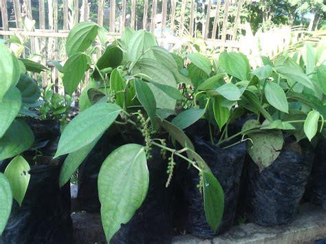 Bibit Bunga Matahari Jumbo bibit buah tanaman hias tanam merica lada dalam pot