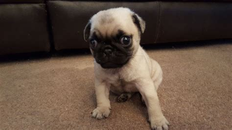 micro pugs for sale tiny micro teacup pug puppies 1 left swansea swansea pets4homes