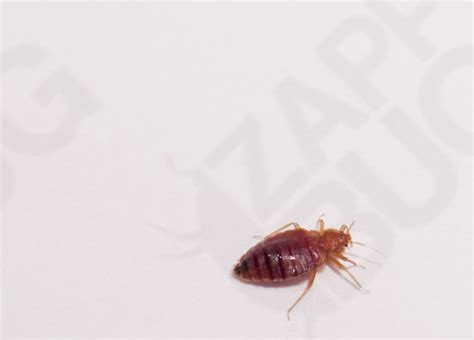 are bed bugs dark color bed bug