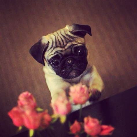 pug planet pug rescue 1000 ideas about teacup pug on pug pug puppies and baby pugs
