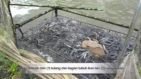 Minyak Ikan Sidat kolam unagi sidat belut di jepang