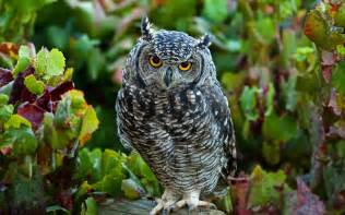 owl wallpaper live hd wallpaper hq pictures images photos amp backgrounds