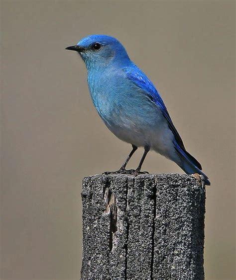 idaho mountain bluebird state birds pinterest
