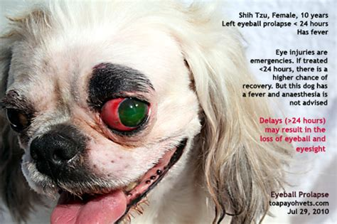 pug cherry eye canine veterinary surgery anaesthesiaveterinary surgery anaesthesia singapore toa