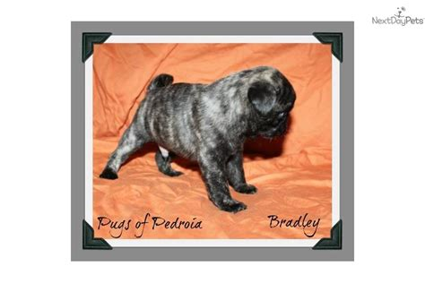 brindle pug puppies for sale pug puppy for sale near sacramento california 126a948c 8851