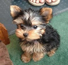 designer yorkie haircuts yorkie haircuts for males excellence hairstyles gallery