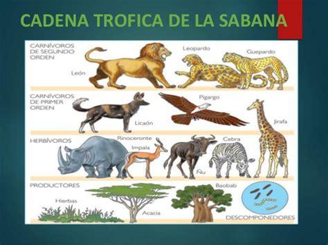 cadenas y redes troficas de la sabana africana la sabana 2