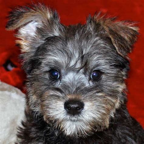 schnoodle puppies nc image gallery schnoodle puppies