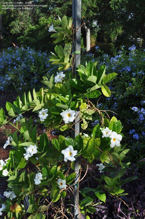 Pinellas Botanical Gardens Plantfiles Pictures Mandevilla Dipladenia Mandevilla Splendens By Gingern