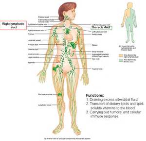 lymphatic immune system diagram labeled lymphatic get