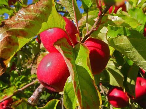 apple australia apple picking in australia picktheworld
