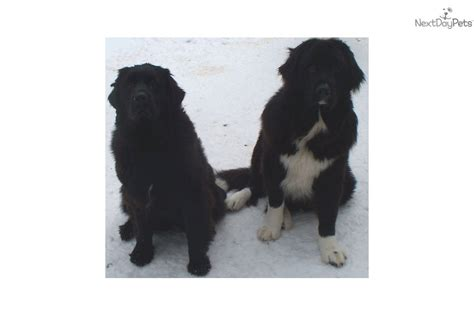 newfoundland puppies ny newfoundland pup upstate new york ready easter breeds picture