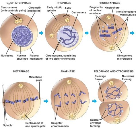 mitosis cycle diagram 301 moved permanently