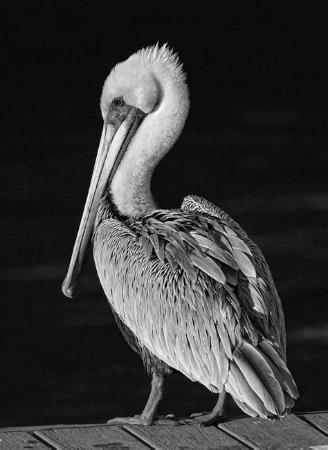pelican portrait black  white photograph  hh