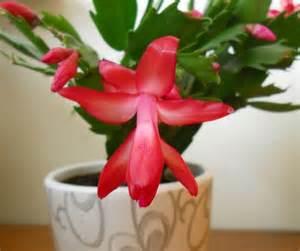 Diner Decor Cactus De Navidad Una Planta Diferente Para Decorar La Casa