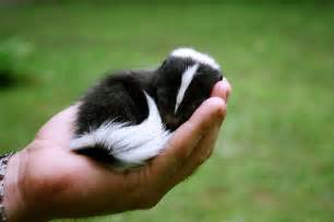 would you have a skunk for a pet current events with patrick cook