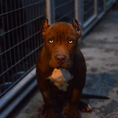 Dark Brown Pitbull Puppies Www Pixshark Com Images Brown Pit