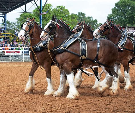 Anheuser-Busch Clydesdale Horses