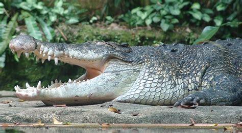 Asian Pacific Crocodile