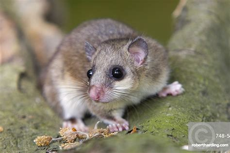 Fat Dormouse